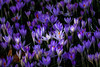 Crocus meadow Flora Cologne (scorpion (13)) Tags: crocuses flower blossom buds color creative sun winter flora cologne