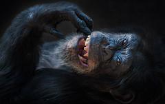 Ich freue mich .... (ellen-ow) Tags: affen menschenaffen schimpanse monkey tier säugetier zookrefeld ellenow nikond700