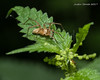Yellow Spider & Ant (strjustin) Tags: arachnid ant spider bug insect leaf macro