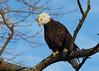 Bald Eagle_73 (Scott_Knight) Tags: bald wisconsin raptors eagle baldeagle minnesota majestic canon 70200 birdofprey 5dsr hastings mississippiriver