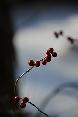 frozen (courtney065) Tags: nikond800 nature landcapes river frozen winter berries redberries icy flora fruit snow macro depthoffield blue white red blurred branchlets tree artistic