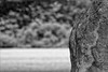 Wayland's Smithy III (meniscuslens) Tags: waylands smithy barrow tumulus stone monolith mono monochrome bw bnw oxfordshire trees field monument national trust