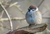 Tree Sparrow (Phil Gower Bird Photography) Tags: tree sparrow