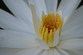Golden stamens of white water lily