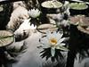 บัวลูกผสมข้ามสกุลย่อย 'ยาคูล' Nymphaea 'Yakult' HxT (Intersubgeneric) Waterlily TH1 (Klong15 Waterlily) Tags: yakultwaterlily waterlily waterlilies landscape landscapes pond pondplant hxtwaterlily lotus lotusflower flowerlover บัวลูกผสมข้ามสกุลย่อย บัว ดอกบัว