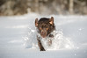 The Snowplow (Jenna.Lynn.Photography) Tags: animal snow dog snowplow run leap snowflakes sunny winter january running buck plow white portrait canon 5dmarkiii zoom action actionshot pet petphotography outside frozen dof funny sport sports