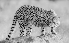 Cheetah (Knud Hald) Tags: blackrhinolodge copenhagenzoo knudhald limpopo outdoor pilanesberg pilanesbergsouthafrica2017 safari southafrica wildlife albatrostravel canonef400mmf56lusm canon beautiful blackandwhite nationalgeographicwildlife animallover 500v2ofav nature