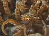 Anemone Shrimp (oceanzam) Tags: ocean sea water underwater scuba dive bali travel nature animal sealife earth life fish coral reef shrimp macro