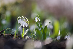 Snowdrops (paulapics2) Tags: snowdrops flowers flora floral blümen fleur bulbs january winter outdoor garden nature macro depthoffield canoneos5dmarkiii canonef70300mmf456lisusm hydehallgardens rhshydehall bokeh