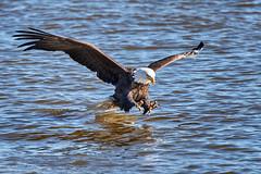 2018.01.27 Eagle outing in LeClaire, Iowa, 0477 (Mike Gatzke) Tags: leclaire iowa unitedstates usa bald eagle haliaeetus leucocephalus mississippi river ld14