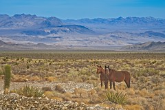 High Desert Horses 5145 B (jim.choate59) Tags: horses wild coldcreeknevada nevada jchoate mountains lasvegas landscape on1pics d610 desert
