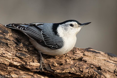 White-breasted Nuthatch (Matt Cuda - www.mattcuda.com) Tags: 2018 bluebird animal bird birding birds blue county february forsyth nc northcarolina perch perched wildlife