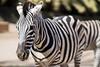 Zebra (Eklis273) Tags: tier animal zebra schwarz weis black white oasispark fuerteventura canaryislands canaries kanaren kanarischeinseln zoo dof outdoor natur nature sunlight sonnenlicht tageslicht daylight samyang sonya6000