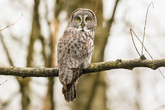 Great gray owl 烏林鴞 A75Y8585_pp (ABERLIN2009) Tags: canon856 canon vancouver owl ggo canada bird taiwan chinabird 內蒙古 海拉爾