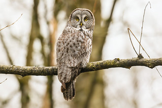 Great gray owl 烏林鴞 A75Y8585_pp