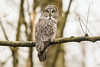 Great gray owl 烏林鴞 A75Y8585_pp (ABERLIN2009) Tags: canon856 canon vancouver owl ggo canada bird taiwan chinabird 內蒙古 海拉爾