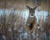 HomeRun (jmishefske) Tags: wehr nikon nature d500 running center february milwaukee franklin wildlife wisconsin 2018 whitetail park whitnall deer doe