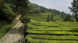 INDONESIEN, Java , Teeplantagen am Puncak-Pass, 17110/9596