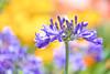 A bit of summer (paulapics2) Tags: flora agapanthus plant bulb summer colourful bokeh selectivefocus canoneos5dmarkiii sigma105mmf28exdgoshsmmacro garden outdoor
