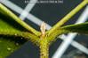 2013-08-10 TEC-3230 cf. Myrcia splendens, colleters below terminal bud - E.P. Mallory (B Mlry) Tags: tec a10 androecium belize belizedistrict belizezoo ca5 co45 calyx corolla cymose flora idd leavesopposite leafstructure leafbottom lflowersurfacelightgreen myrtaceae myrciasplendens simpleleaf tbz tropicaleducationcenter abaxialsurface collectingvein colleters compoundcyme compoundinflorescence crosssection exsitu flower flowerbuds foliage getidconfirm glandularhairlikestructuresassociatedwithpetioles greenstem greenishwhitecalyx grid1cm habitat hairycalyx hairypetals hairypetioles hairystem indumentum indumentumcolored leafmidribdepressedontop leafmidribswollenbelow palepinkanthers pedunclehairy pellucudpunctations prominent sepals shortpetioles stem stipules surface synmyrciabelizensis synmyrciaoerstediana synmyrciaschippii tallos terminalinflorescences terminalleafbuds thyrse topofleafshiny twigsterete underneathleafhairyalongcosta whiteanthers whitefilaments whitepetals democracia
