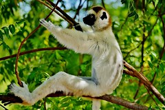 Verreaux's Sifaka Sitting In A Tree (Propithecus verreauxi) In The Shadows (Susan Roehl) Tags: madagascar2017 islandofmadagascar offtheeastcoastofafrica berentyreserve verreauxssifaka whitesifaka propithecusverreauxi lemur animal mammal mediumsized lemuridaefamily indriidaefamily endemic rainforest westernmadagascardrydeciduousforests dryandspinyforests longtail forbalance arboreal ongroundtheyhop smalltroops foursubspecies inzoosliveto18 sueroehl photographictours naturalexposures panasonic lumixdmcgh4 100400mmlens handheld cropped tree wood outdoors closeup coth5 ngc