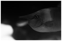 "They Call Him ""The Nose"" (RadarO´Reilly) Tags: fisch fish nase nose sw schwarzweis bw blackwhite blanconegro monochrome noiretblanc zwartwit"