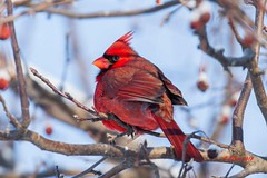 IMG_8643 male red cardinal (starc283) Tags: starc283 wildlife winter flickr flicker bird birding birds canon canon7d cardinal maleredcardinal redcardinal outdoors outdoor nature naturesfinest nebraska naturewatcher