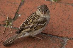 IMG_4816 (Lightcatcher66) Tags: spatzensparrows florafauna makros lightcatcher66