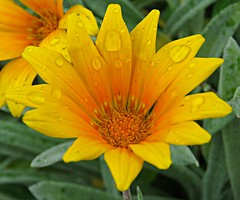 Sunny Gazania In The Rain! ('cosmicgirl1960' NEW CANON CAMERA) Tags: flowers worldflowers tropical exotic flora gardens parks sanpedro costadelsol spain espana andalusia yabbadabbadoo travel holidays nature green