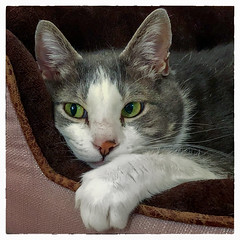 Happiness is my own bed ! (Timothy Valentine) Tags: home cat quinnomannion happycaturday square 2018 eastbridgewater massachusetts unitedstates us