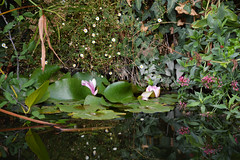 Ninfee (Sara Bellini) Tags: florence italy pond water flower ninfee green plants flowers floreal pink mirror composition nature reflection peaceful zen monet art aesthetic