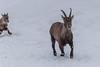 Ibex : February 11, 2018 (jpeltzer) Tags: ottawa montebello quebec parcomega winter
