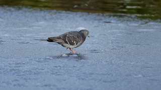 Walking on the frozen lake (1/2) : a pigeon