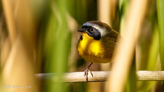 Common Yellowthroat (Bob Gunderson) Tags: birds boathouse california commonyellowthroat geothlypistrichas lakemerced northerncalifornia sanfrancisco warblers woodwarblers