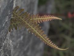 Plant Life at Machu Picchu (NikonRich1) Tags: machupicchu fern