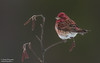 Purple finch ( Male) (salmoteb@rogers.com) Tags: bird wild outdoor outdor nature purple perch tree pose ontario canada wildlife finch