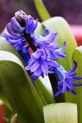 DSC_8833 Hyacinths (PeaTJay) Tags: nikond750 sigma reading lowerearley berkshire macro micro closeups gardens outdoors nature flora fauna plants flowers hyacinths