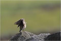 Meadow Pipit (jenny*jones) Tags: meadowpipit anthuspratensis westyorkshire gtbritain 2017 drystonewall canon7dmarkii birdphotography