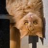 Hello ! (FocusPocus Photography) Tags: linus katze kater cat chat gato tier animal haustier pet kopfüber upsidedown
