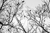 The voice on the wind whispers murder (The Frustrated Photog (Anthony) ADPphotography) Tags: animalsbirdsinsects birds category eskisehir kanlikavakpark places travel turkey crows murder trees tree silhouette blackandwhite whiteandblack bw morning branches branch twigs canon70d tamron70300 canon outdoor bird nature natural wildlife winter lightanddark sky