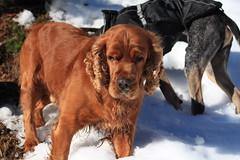 voici Mandarin le potu et Nasco (bulbocode909) Tags: chiens nature suisse neige hiver montagnes animaux