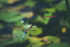 july 2015 lake katherine (timp37) Tags: palos summer july 2015 dragonfly lake katherine illinois