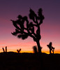 Colors of Nature (Foto-Mike) Tags: canon eos 5d markiii 3 sunset southern california jashuatree nationalpark desert high 1740 mm wide angle lens 055xprob manfrotto tripod 808rc4 head nature landscape orange purple