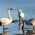 Trumpeter Swans thumbnail