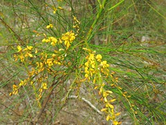 Viminaria juncea 1 (barryaceae) Tags: smiths lake new south wales australia sandbar myall lakes national park nsw australianheathplants aushp fabaceae