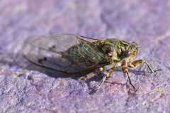 Cicada (bevanwalker) Tags: subterranean underground 105mmf28 lens d7000 nikon newzealand whangamata wings flying