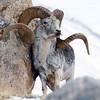 Long horn sheep in British Columbia (briolette001) Tags: longhornsheep radiumhotsprings britishcolumbia canada canadarockymountains