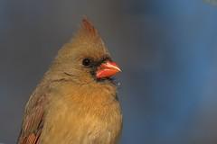 Cardinal Rouge / Northern Cardinal (ALLAN .JR) Tags: cardinalrouge northerncardinal femelle oiseau bird nature wild boiséstdorothée cardinalis nikon
