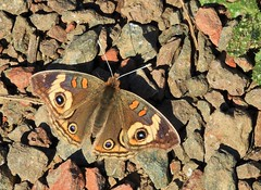 Common Buckeye Butterfly. (Ruby 2417) Tags: buckeye butterfly insect wildlife nature marin