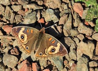 Common Buckeye Butterfly.